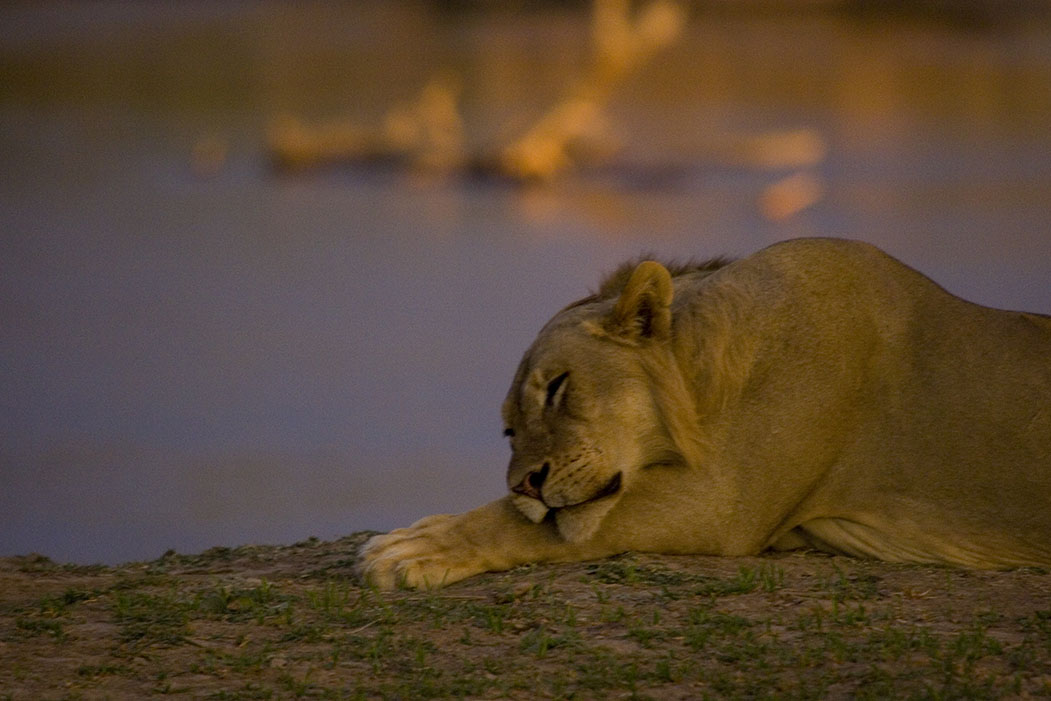 Bongwe Safaris Ringo the Lion
