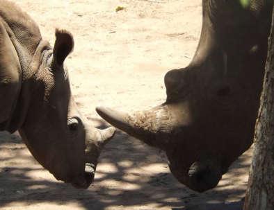 Bongwe Rhino Encounter