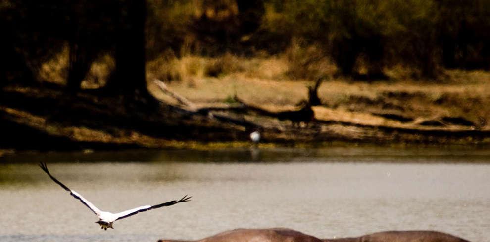 Flying_Bird_Hippos