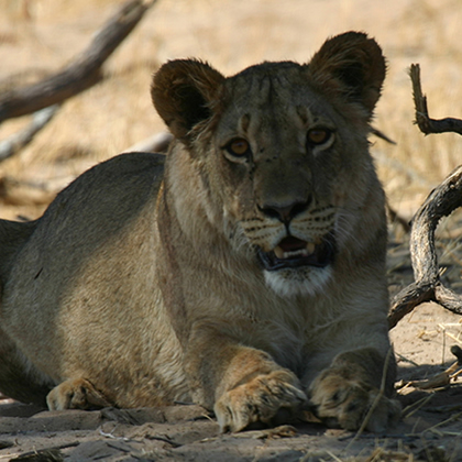 Wild Kafue Safari with Bongwe Safaris
